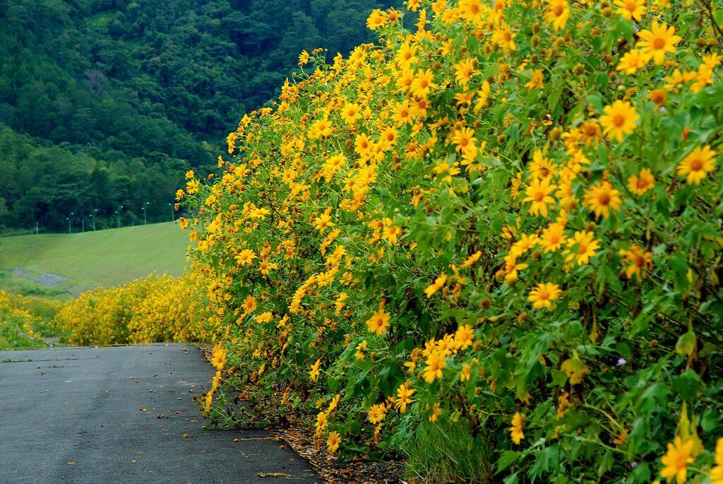 du lịch đà lạt: hoa dã quỳ