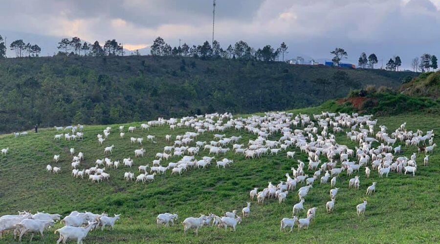 Trang trại dê sữa Măng Đen, trang trại lớn nhất Việt Nam