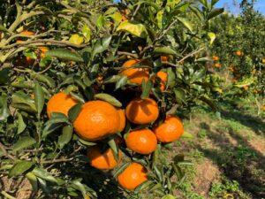Mareeba Orchard Mang Den 16