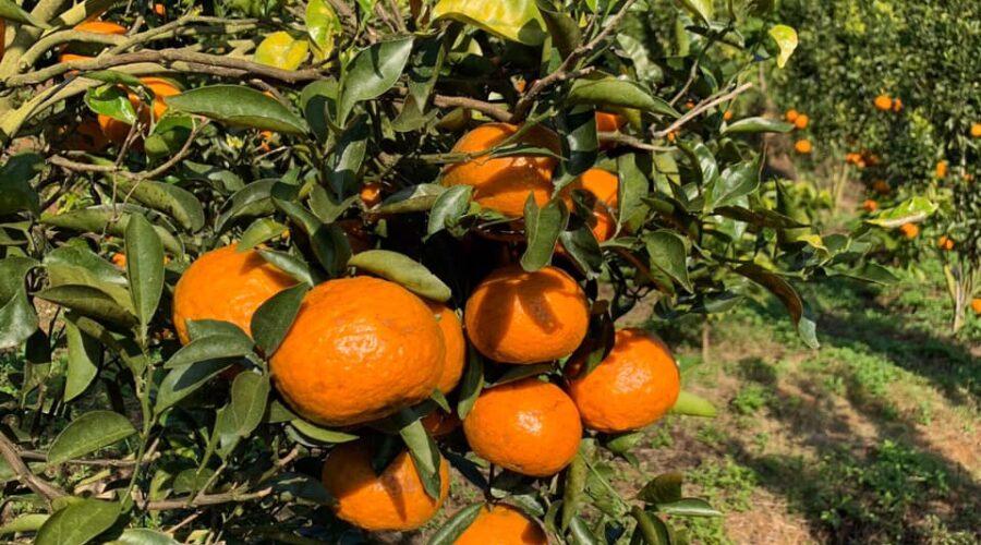 Vườn cam Mareeba Orchard Măng Đen