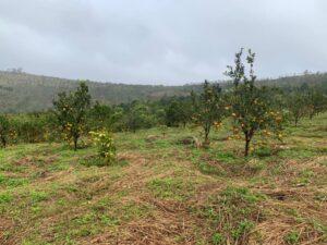Mareeba Orchard Mang Den 19