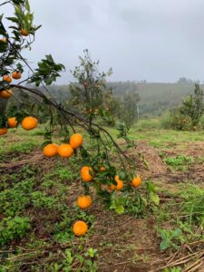 Mareeba Orchard Mang Den 20