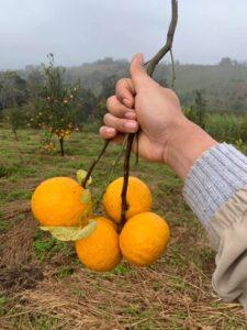 Mareeba Orchard Mang Den 21