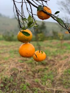 Mareeba Orchard Mang Den 22