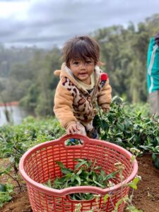 Mareeba Orchard Mang Den 23