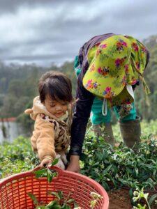 Mareeba Orchard Mang Den 24