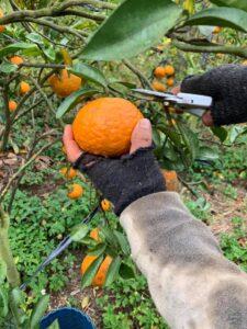 Mareeba Orchard Mang Den 9