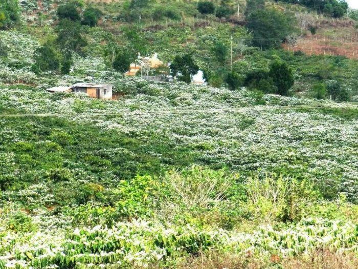 Tây Nguyên trắng xóa trong mùa hoa cà phê. Ảnh: Ngọc Viên Nguyễn