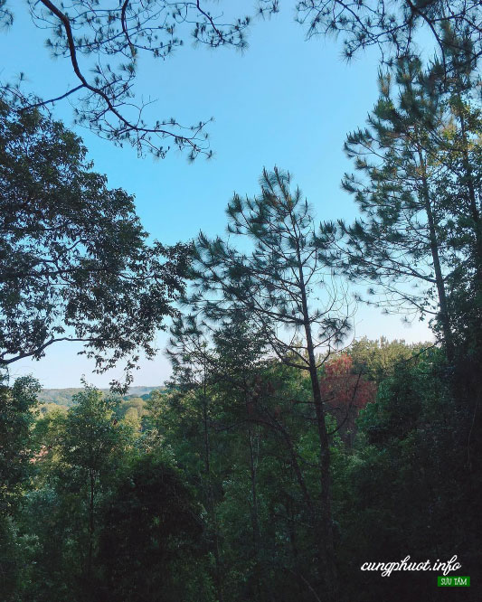 Rừng thông ở Măng Đen có thể thấy ở khắp mọi nơi