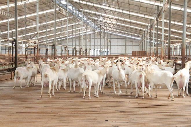 Trang trại dê sữa lớn nhất Việt Nam