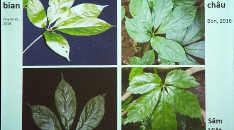 Sự thật về loại cây giống sâm Ngọc Linh ở Lâm Đồng