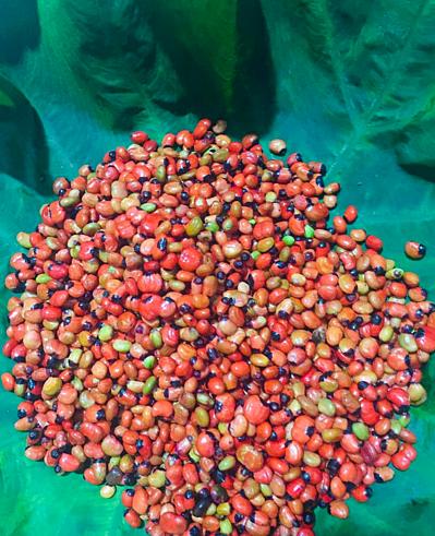 Săn mua hạt giống sâm Ngọc Linh