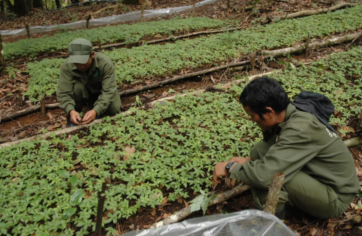 115 tỷ đồng đầu tư dự án trồng cây dược liệu dưới tán rừng tại Măng Đen